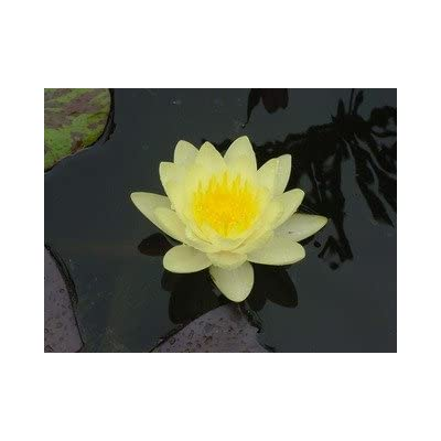 10 YELLOW LOTUS (Sacred Water Lily / Lily Pad / Asian Water Lotus) Nymphaea Ampla Flower Seeds : Flowering Plants : Garden & Outdoor