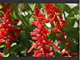 Salvia Scarlet Sage (Salvia Coccinea) Beautiful Tall and Vivid Red, Brings Hummingbirds and Easy to Grow Approx 30 Seeds