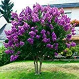 40+ JAPANESE TREE PURPLE LILAC SEEDS / HARDY PERENNIAL POWERFUL LOVELY FRAGRANT