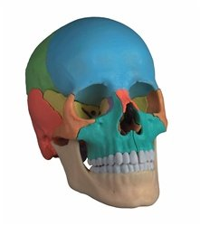 Didactic Magnetic Skull Model, 22-part