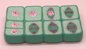 Mitosis Model - SEOH Plant Mitosis Set for Biology Large Model