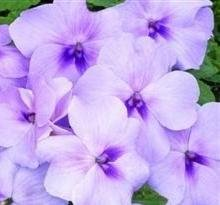 Impatiens/Busy Lizzy - Xtreme Lavender - 25 Seeds
