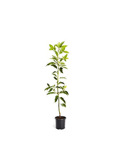 Cold Hardy Avocado Tree - 2-3 feet tall in 1 Gallon Pots - (Mexicola Grande) - Get Delicious Avocados Year Round from This Fruit Tree by Brighter Blooms Nursery ()