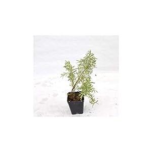 10x Piante di Gelsomino (Mix di varietà) Vaso 7cm, H.10cm 319wfuRMXkL. SS300