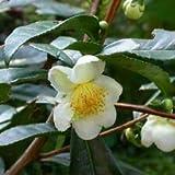 Camellia sinensis Cold Hardy Tea Camellia - Shrub Seeds!#greg0396