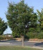 - 50 Japanese Zelkova Tree Seeds, Zelkova Serrata
