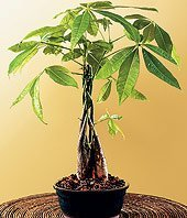 SKG Inc. Claim to Fame: BRAIDED MONEY TREE for good fortune