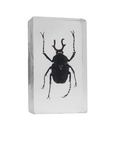 Asian Hercules Beetle