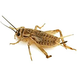 1000 Live Crickets Age 6 Weeks Size 1 inch Reptile Glider Feeder
