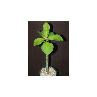 """Synadenium grantii, African milkbush exotic cacti rare succulent plant 4"""" pot : Garden & Outdoor"""