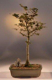 Copper Beech Tree - 1