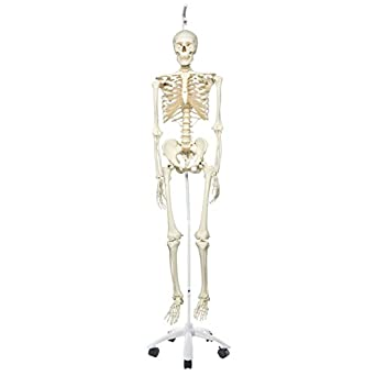 """3B Scientific A10/1 Plastic Human Skeleton Model """"Stan"""", On Hanging 5 Foot Roller Stand, 73.2"""" Height"""