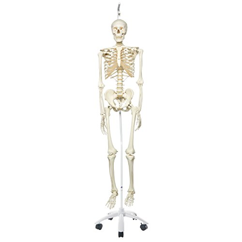 3B Scientific A10/1 Plastic Human Skeleton Model