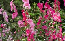 50+Seeds 4 SHADES OF PINK HOLLYHOCK MIX Blush Pink Hot Light & Dark Cut (Astor Four Light)