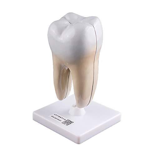 Cross-Section Tooth Model Detachable Biology Teaching Secondary School Teaching