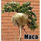 Maca Seeds, Peruvian Ginseng, 200 Seeds, Peruvian Superfood, Easy to Grow !