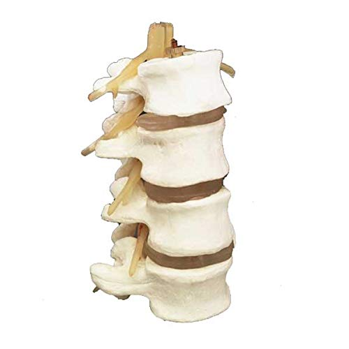 4-Part Human Lumbar Vertebrae Spine Set Anatomy Model