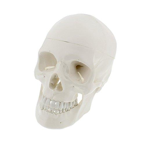 Mondo Medical Models Human Skull Anatomical Model – Life Sized Skull Replica with Removable Mandible and Skull Cap