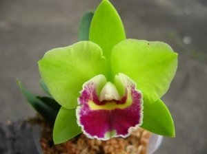 Sale - 3 Large Live Orchids Plants(Cattleya,Oncidium,Dendrobium) by Angels Orchids (Image #4)