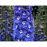 (50ct of Blue Delphinium Seeds, Blue Bird, Heirloom Flower Seeds, Tall Blue)