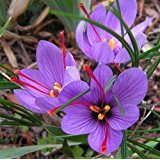 Saffron Bulbs - Rotteveel Bulb Saffron Crocus 10 Bulbs - Rare Spice - Fall Blooming - Crocus Sativus