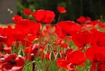 (ANVIN Germination Seeds:Red, 100 Seeds, Organic, Worlds Most Popular Flower, Stunning Red Poppies)