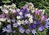 Starflower Mix - 15 Bulbs - 5/6 cm bulbs - Triteleia laxa