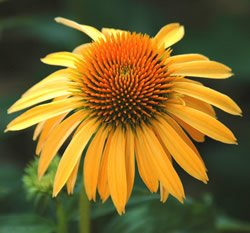(Coneflower - Harvest Moon Perennial Flower)