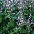 Herb Seeds - Sage Clary - 1000 Seeds
