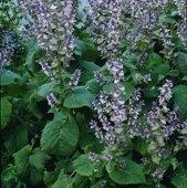 Herb Seeds - Sage Clary - 500 Seeds