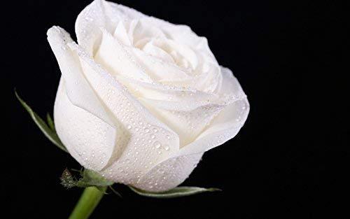 Colorful Rose hep Flower Seeds for Home Garden Yard Decoration, 50 Seeds (White Rose Seeds)