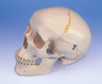 Anatomical Human Skull w/ Numbering 3B