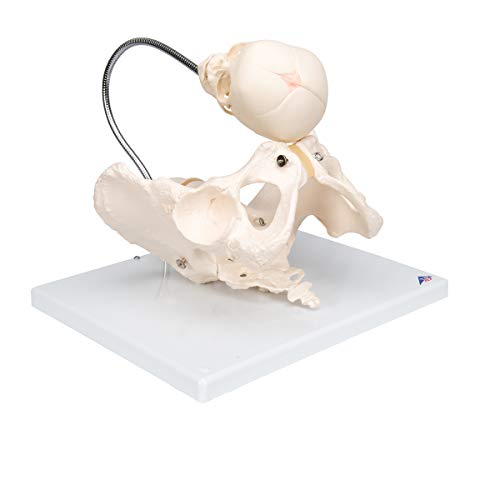 (3B Scientific L30 Childbirth Demonstration Pelvis Model, 13