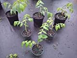 Real strawberry tree muntingia CALABURA live not seeds