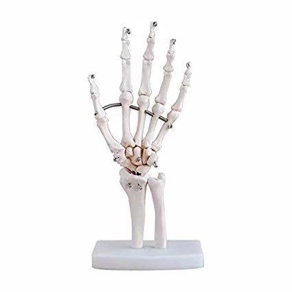 Amazon Life Size Human Hand Joint Skeleton Anatomical Medical