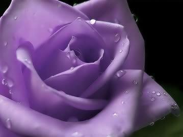 5 PURPLE ROSE Rosa Bush Shrub Perennial Flower Seeds *Comb S/H