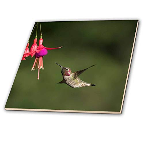 3dRose Washington. Male Annas Hummingbird hovers at a Fuchsia Flower Decorative Tiles, Ceramic, Clear