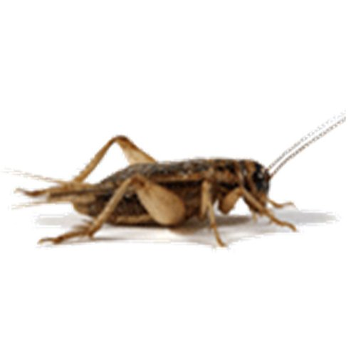 100 Live Crickets, Large Size - Original Brown Crickets by Gimminy Crickets and Worms