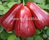 20pcs/lot Wax Apple Fruit Seeds,delicious Fruit Seeds
