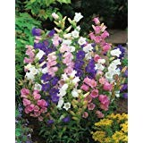 "-Bulk- CANTERBURY BELLS -""Campanula""- Mixed Colors 350+Biennual Seeds"