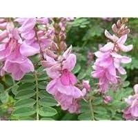 Alick 10 Semillas de Planta Indigofera Tinctoria Rosa.