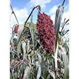 50 COLORED UPRIGHTS SORGHUM / BROOMCORN Sorghum Bicolor Grain Vegetable Seeds