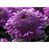 Extreme Purple Chrysanthemum Flower Seeds 50 Stratisfied Seeds