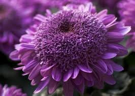Flower Extreme (Extreme Purple Chrysanthemum Flower Seeds 50 Stratisfied Seeds)