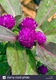Gomphrena Globosa Purple Seeds Easy To Grow 200 Seeds