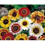 Painted Daisy Flower Seeds - 3,000 Seeds in Each Packet with Free Shipping