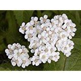 The Dirty Gardener Achillea Millefolium White Yarrow Wildflowers - 500 Seeds