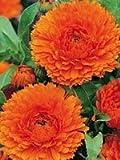 CALENDULA - ORANGE KING - 200 FLOWER SEEDS