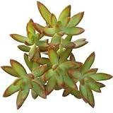 Sedum Adolphii Firestorm Golden Sedum (2 inch Pot)