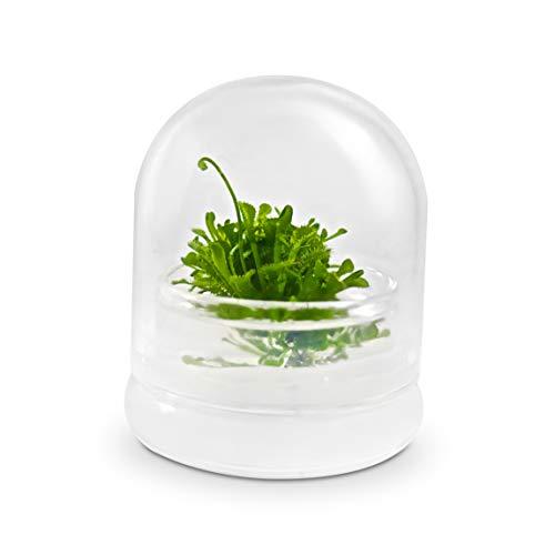 BLOOMIFY Sundew Terrarium - Zero Care - Drosera spatulata - 2 cube